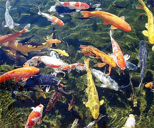 14 best some of my favorite things images on pinterest for Beautiful koi ponds