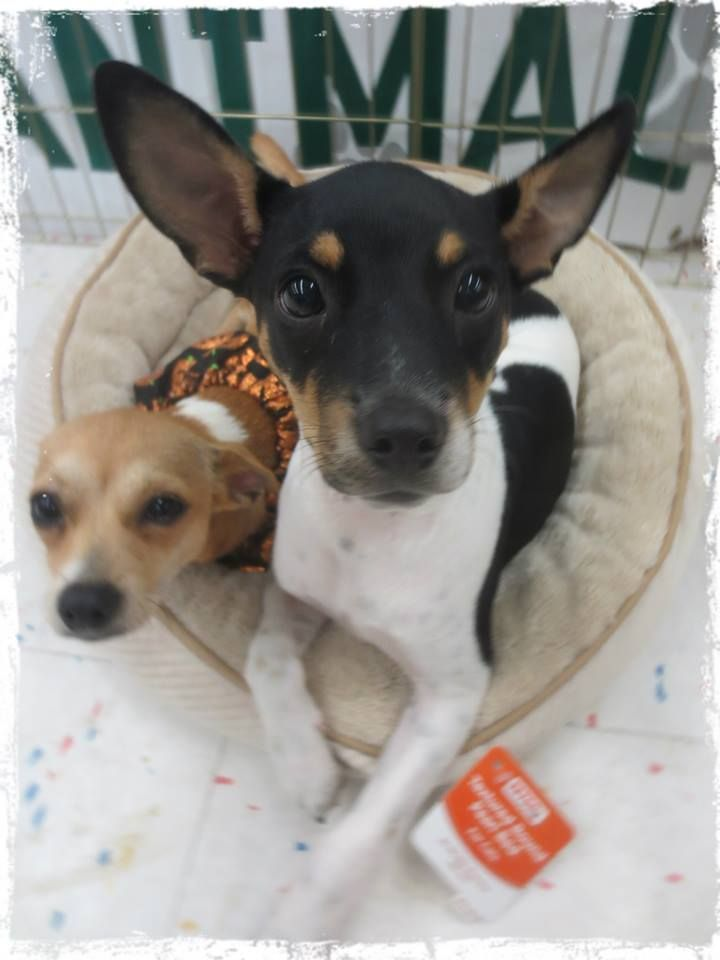 Beau is an adorable rat terrier mix puppy that loves to be held. He is playful and sweet and just wants to be loved. Gives really good hugs! Working on potty training and already neutered and current on shots. He's ready to join your family today!
