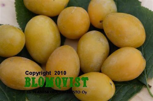 Prunus domesticaOnega gulplommon