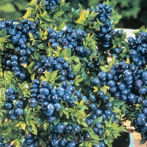 134 Best ABCu0027s Of Ericaceae (Heather) Images On Pinterest | Blueberries,  Blueberry Plant And Blueberry Bushes