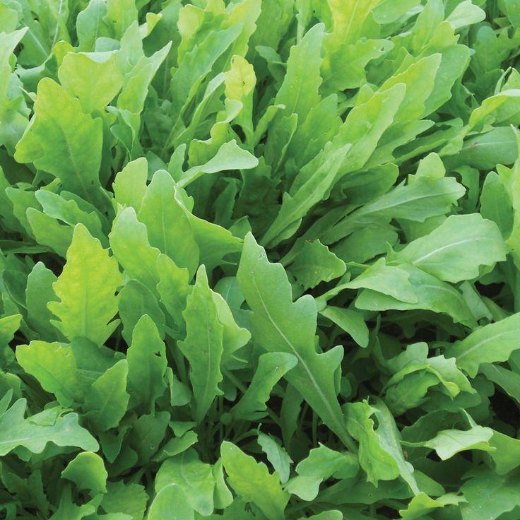 Rocket 'Wildfire' - Salad Seeds - Thompson & Morgan