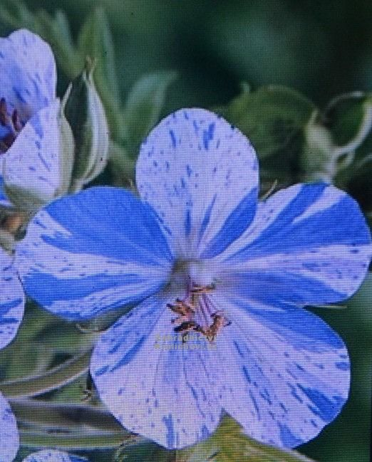 """Geranium pratense """" Splish Splash """" - kakost Zahradnictví Krulichovi - zahradnictví, květinářství, trvalky, skalničky, bylinky a koření"""