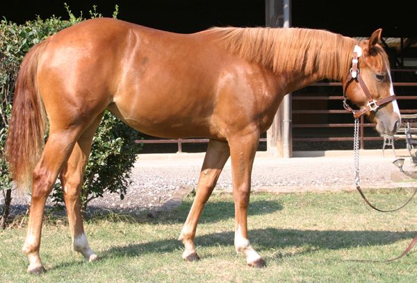 Cut Smoke Gipsy  CUTTING mare