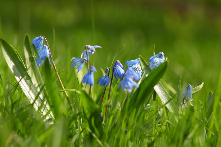 Sinisiä kukkia.