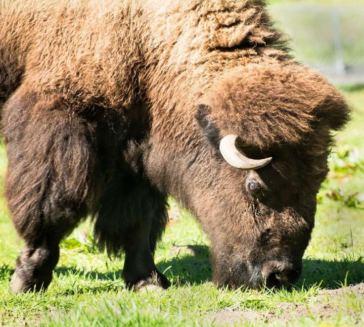 Last Cow, 22, was the oldest female American bison living in San Francisco's Golden Gate Park. She died Monday, Nov. 3, 2014. Photo: May Woon / San Francisco Zoo / ONLINE_YES