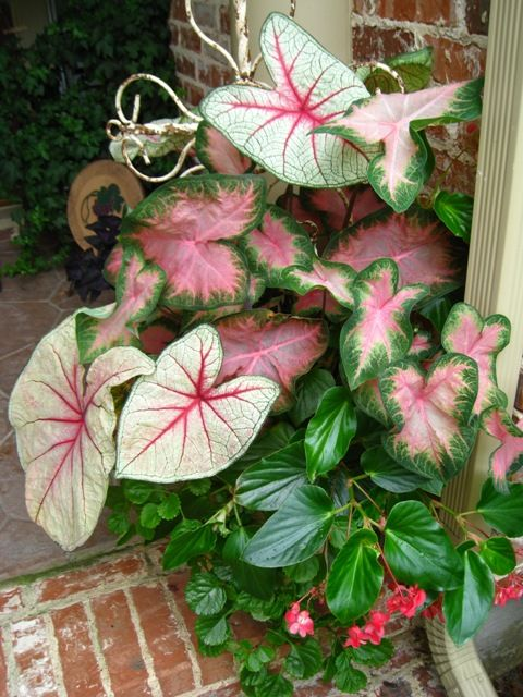 Shade container: ~Assorted Caladiums Dragonwing Begonia (pink or red) Creeping Jenny or Swedish Ivy~