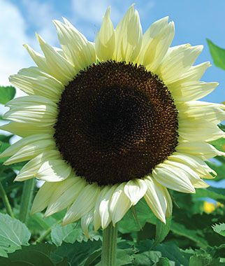 coconut ice sunflower: Flowers Gardens, Sunflowers Seeds, Hybrid Sunflowers, Ice Hybrid, Annual Flowers, Cut Flowers, Sun Flowers, Ice Sunflowers, Coconut Ice
