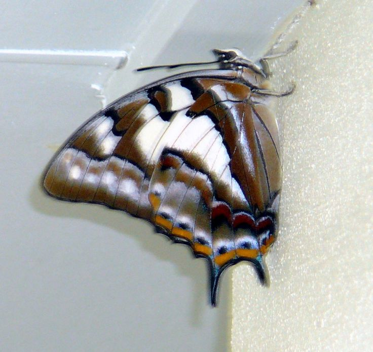 Ulysses butterfly under wing 7cm half wing
