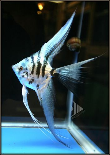 446 best images about angelfish cichlids on pinterest for Fish tank marbles