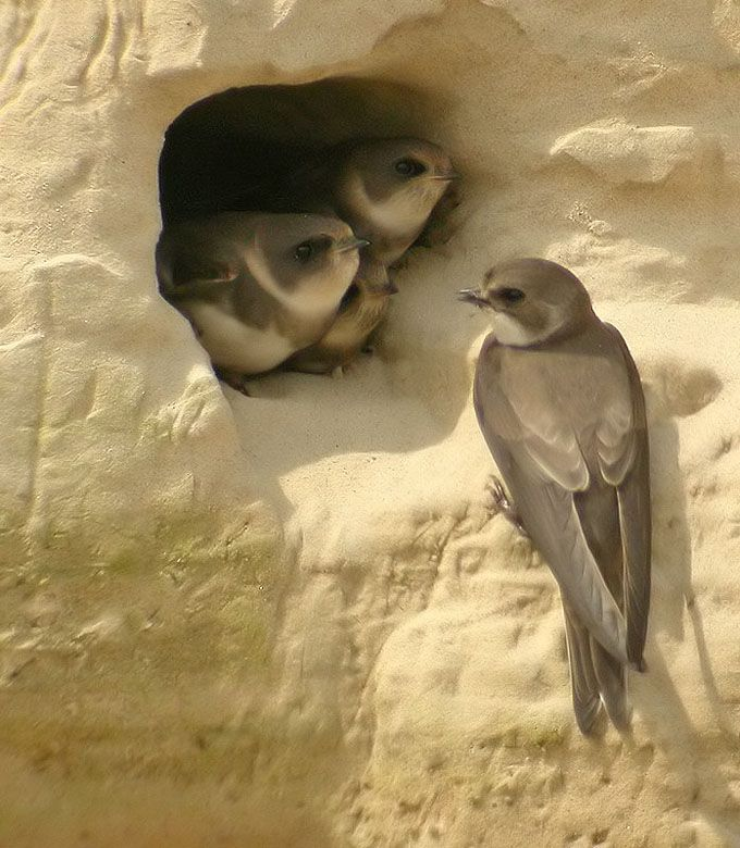 Bank Swallow or Sand Martin (Riparia riparia) nests in stream banks across much of North America, Europe and Asia