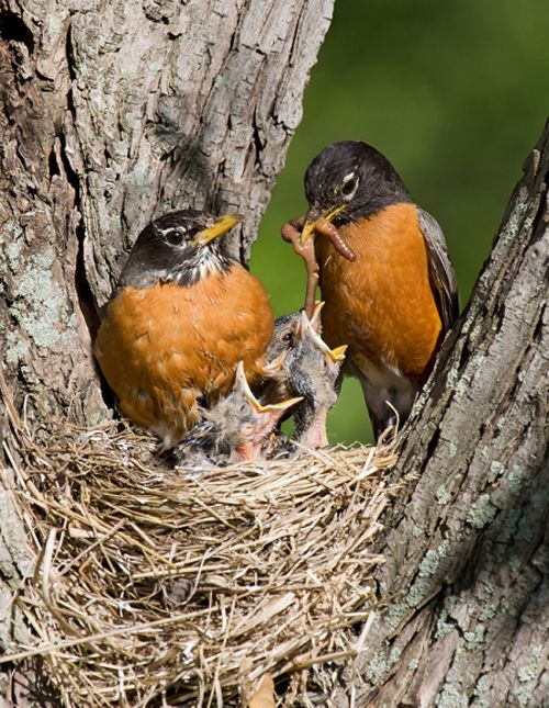 American Robin or North American Robin (Turdus migratorius) parents feeding its young. Robins are a migratory songbird from the thrush family. The American Robin is widely distributed throughout North America, wintering south of Canada from Florida to central Mexico and along the Pacific Coast. It is the state bird of Connecticut, Michigan, and Wisconsin.