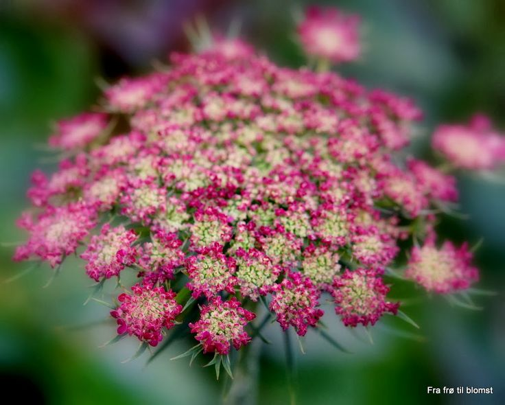 31 Best Flowers Queen Anne S Lace Daucus Carota Wild