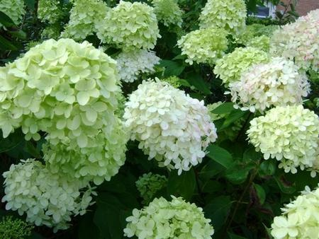Hydrangea paniculata limelight (hortensia limelight)  Limelight hydrangeas.  Wonderful plants!  they can take the sun and grow to 6'.  Beautiful and unique color.