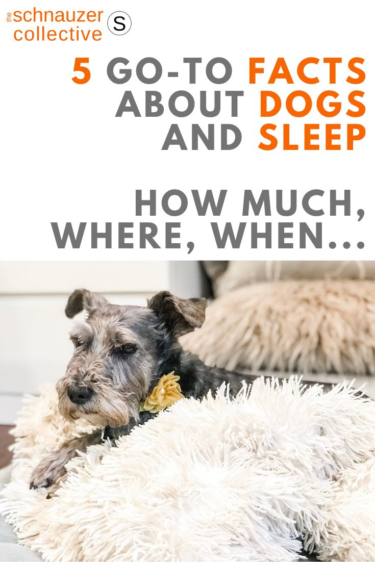 How long and where should schnauzers sleep 5 goto