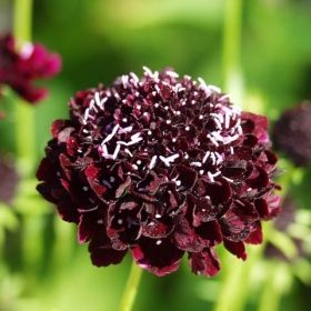 PRAKTVÄDD 'Magic Night' i gruppen Ettåriga blomsterväxter hos Impecta Fröhandel (8721)