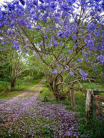 ~~Jacaranda Lane | Spring in Brisbane, Australia by Renee Hubbard Fine Art Photography~~