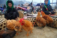 Scientists say the threat from bird flu is far greater than the threat of terrorists using bird flu as a weapon and will publish experiments on bird flu.