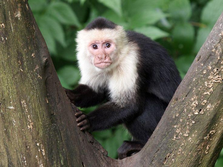 Considerados os macacos do Novo Mundo mais inteligentes, os macacos-prego (imagem acima) usam ferramentas, podem reconhecer imagens de si mesmos no espelho e aprender rapidamente, razões pelas quais a indústria cinematográfica e de séries gosta de colocá-los em suas produções. Quem aí se lembra do macaco Marcel, do Ross, da série Friends? http://www.megacurioso.com.br/animais/48016-12-fatos-interessantes-sobre-os-primatas.htm?utm_source=plus.google.com