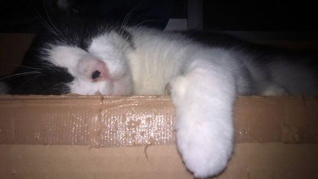 場所が汚ぇ(||゚∀゚)/ ヒャーッハハハ!! でも気持ちよさげに寝てたから。゚(゚ノ∀`゚)゚。アヒャヒャ  #猫 #CAT #고양이 #愛猫 #ハチワレ #オス猫 #リキ #去勢済 #肥大型心筋症 #大動脈血栓塞栓症 #血栓予防薬投与中 #抗血小板薬 #クロピドグレル錠 #再発後に左後ろ足に麻痺 #肉球の色 #再発の恐怖 #闘病中の猫 #靴下を履いている猫