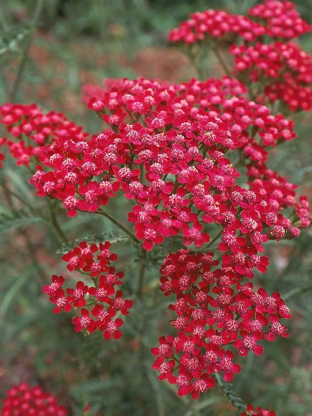 Hardy Summer Wine Yarrow | Tough-As-Nails Plants | Creating an eye-catching garden doesn't require a degree in horticulture — what you need are low-maintenance plants that can handle a variety of conditions. Try growing these foolproof selections in your garden. | HGTV