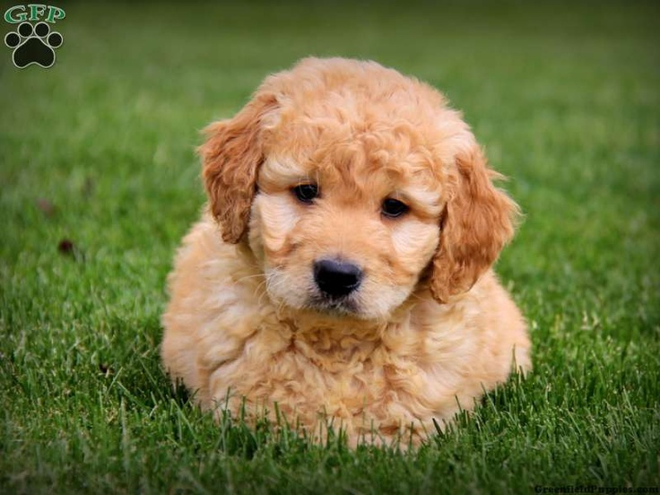 Buddy, Mini Goldendoodle puppy for sale from Gordonville