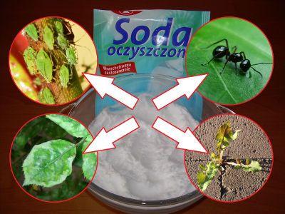 Soda oczyszczona - zastosowanie w ogrodzie, opryski