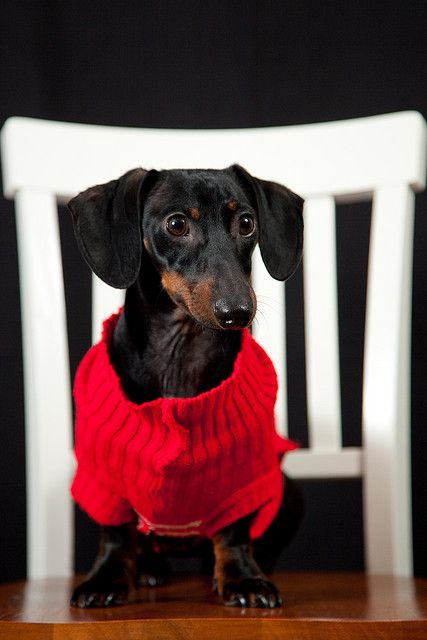 The Christmas Sweater...I wish I could get my dachshund to wear the sweaters I have bought her