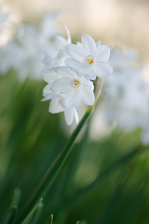 Narcissus Beauty by Zalynn Zhong, via 500px.