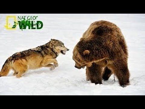 276cc4cbd22e4e8dcb52c0b716b4b1b5--brown-bears-wild-life.jpg