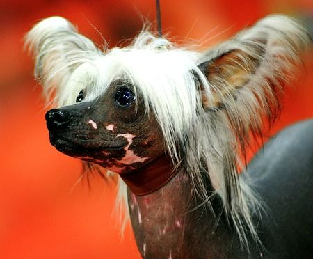 Chinese Crested  #dogs!