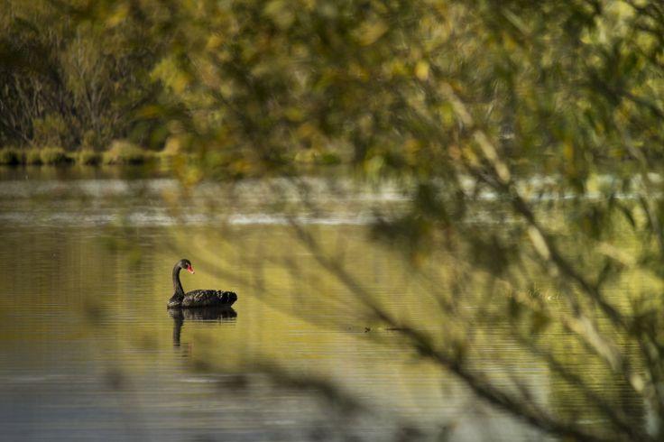 Black swan on the Glenorchy lagoon.