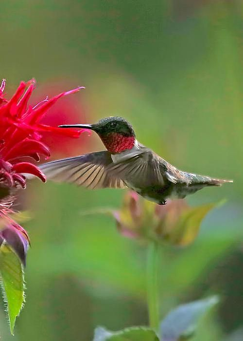 Ruby Throated Hummingbird With Beebalm by Clare VanderVeen