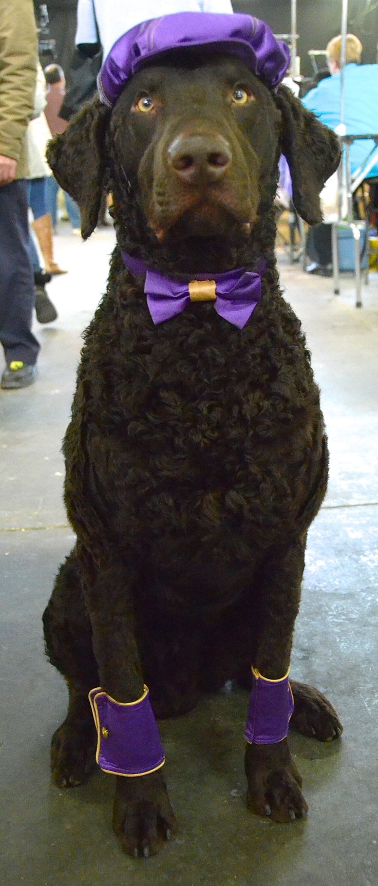 Lodi the Curly Coated Retriever. Westminster Kennel Club Dog Show 2014. 02/11/14.