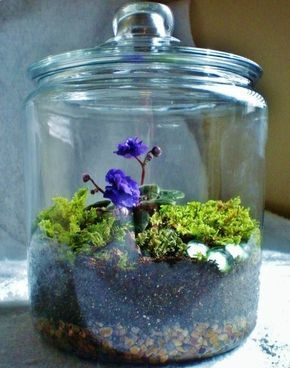 Violets do so well in a terrarium. This glass terrarium/fairy garden is filled with a Robs Voodoo Blue miniature African Violet, a carpet of mood moss, fern moss, and hair cap moss, a small patch of pixie cup lichens. #mossgardenindoor