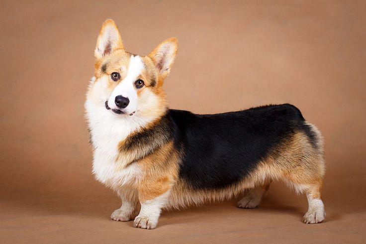 Вельш-корги – коренастая, жизнерадостная, неутомимая собака. Псы этой породы – большие труженики, они всегда начеку