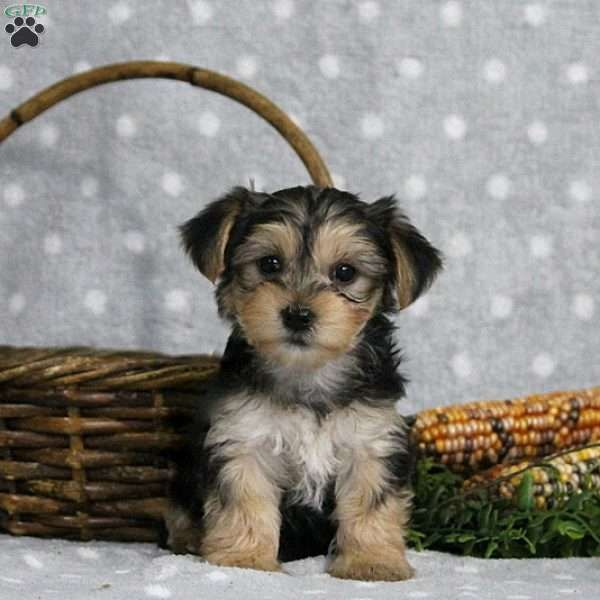 Kelly Morkie Yorktese Puppy For Sale In Pennsylvania Puppies Morkie Puppies Morkie Puppies For Sale