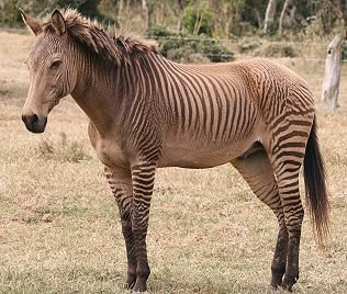 zebroid - Google Search