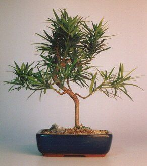 Flowering Podocarpus Bonsai TreeStyled - Medium(podocarpus macrophyllus)