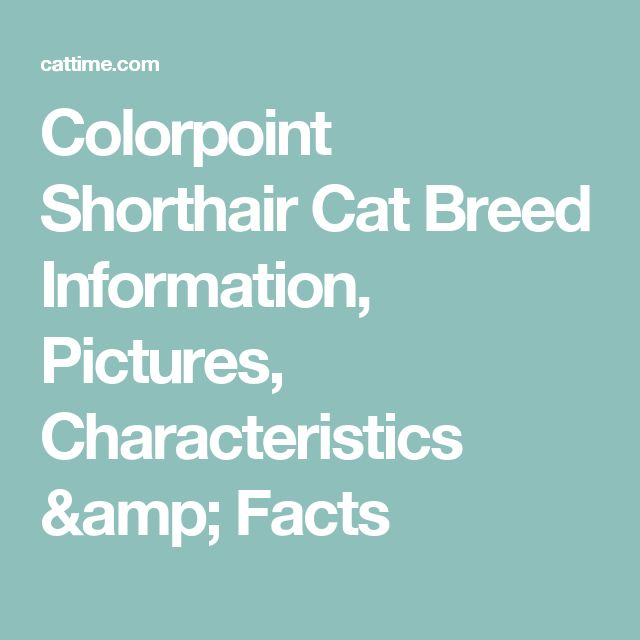 Colorpoint Shorthair Cat Breed Information, Pictures, Characteristics & Facts