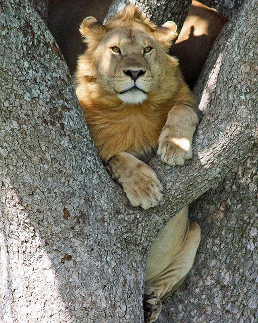 cool lion . Serengeti Tanzania