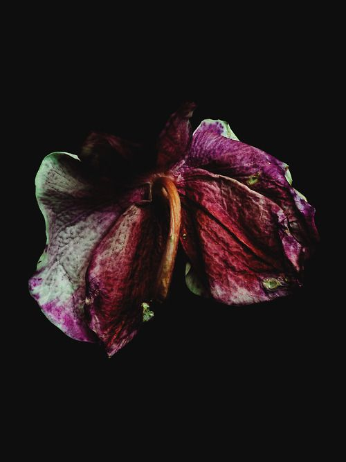 Decaying Orchid shot by Billy Kidd. I really like these series of decaying flowers as the contrast between the reds and purples against the dark background is interesting.