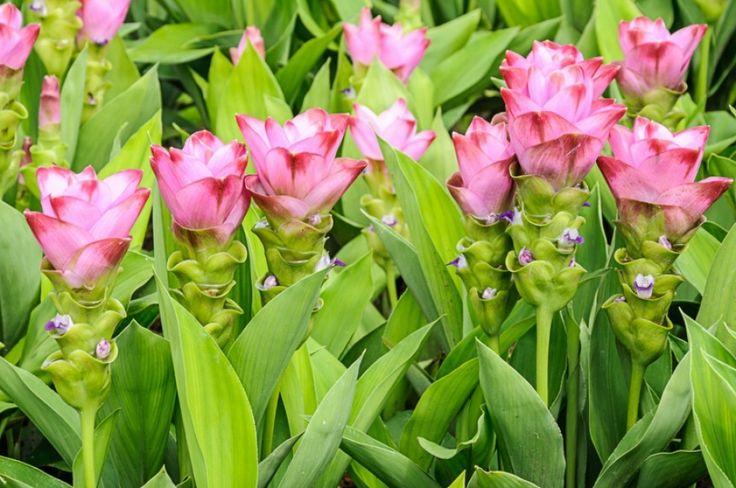 A gyömbércsalád egyik legszelídebb tagja, amely könnyedén termeszthető a lakásban, sőt meglepően hálás virágzó dísznövény válik belőle. Nézd meg, mi a teendőd vele....