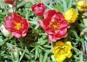 How to Grow Moss Rose - I planted moss rose in my problematic garden last summer for the first time and it THRIVED!  Nothing killed it...not bunnies, full sun, drought or even me!