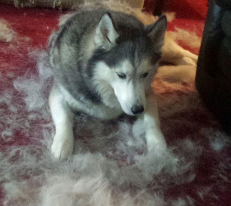 How to control stop husky shedding