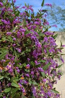 Great Design Plant: Lilac Vine for a Purple Profusion in Winter (southwest gardening)