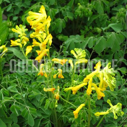 image de Corydalis lutea