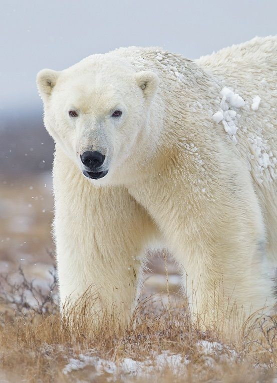 Quot Nanook Quot Is The Inuit Name For Polar Bear Let It Snow
