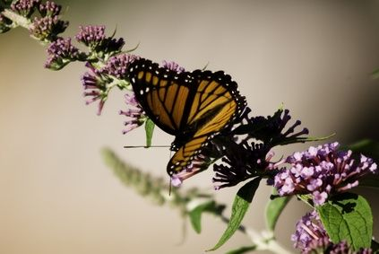 Flowers That Attract Bees & Butterflies