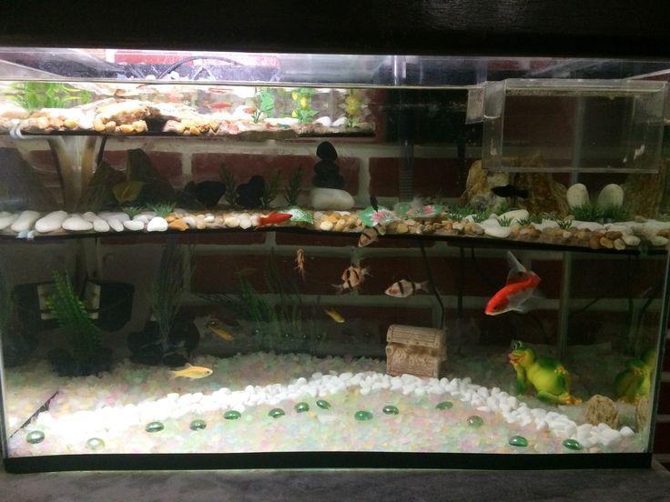 Neste meu primeiro aquário tenho 5 Barbus tigre, 3 Barbus gema, 2 Molinesia negras, 1 espada, 1 Kinguio, 1 coridora, 4 Danio rerio (ou paulistinha como é conhecido). E na maternidade 3 alevinos guppy que já estão com quase 2 meses. Nasceram no meu aquário!