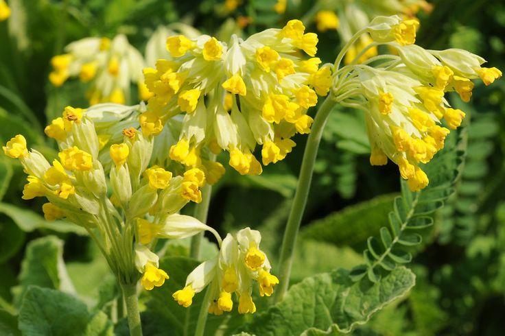 Kaunis ja tervendav nurmenukk toob leevendust peavalude ja migreeni korral - Alkeemia